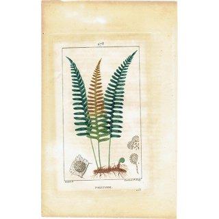 フランスアンティークボタニカルプリント(POLYPODE/シダ植物)植物画 0469