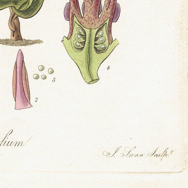 フランスアンティークボタニカルプリント(Asarum arifolium/アリフォリウム)植物画 0470