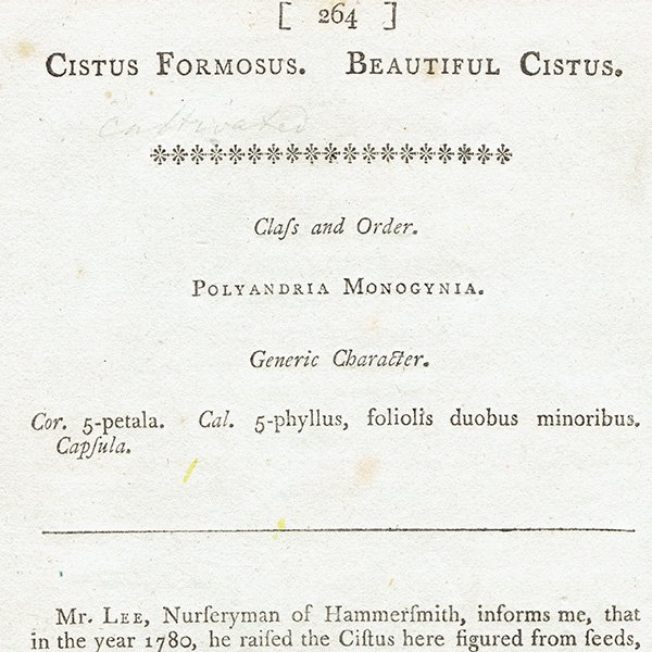 イギリスアンティークボタニカルプリント(CISTUS FORMOSUS/ハンニチバナ)植物画 0471