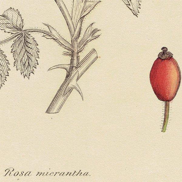 イギリスアンティークボタニカルプリントENGLISH BOTANY(Rosa Micrantha/ロサ・ミクランタ)植物画 0472