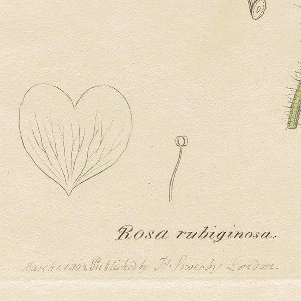 イギリスアンティークボタニカルプリントENGLISH BOTANY(Rosa rubiginosa/ロサ・ルビギノーサ)植物画 0473