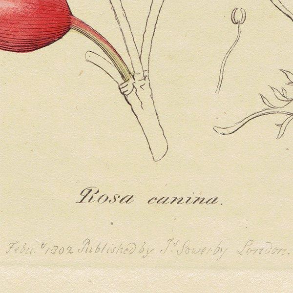 イギリスアンティークボタニカルプリントENGLISH BOTANY(Rosa canina/イヌバラ)植物画 0474
