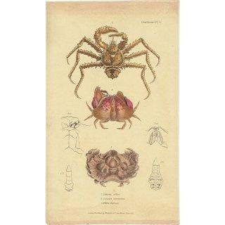 海洋生物 甲殻類のアンティークプリント 博物画|0093