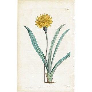 イギリスアンティークボタニカルプリント(Troximon glaucum)植物画 0475