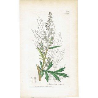 イギリス ボタニカルプリント/植物画 Artemisia vulgaris(オウシュウヨモギ). plate.1134,1839 JAMES SOWERBY 0512<img class='new_mark_img2' src='https://img.shop-pro.jp/img/new/icons5.gif' style='border:none;display:inline;margin:0px;padding:0px;width:auto;' />