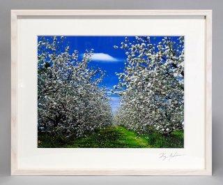 リンゴの花(0861)