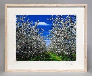リンゴの花(0862)