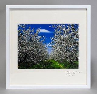 リンゴの花(0869)