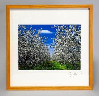リンゴの花(0870)