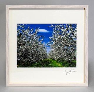 リンゴの花(0871)
