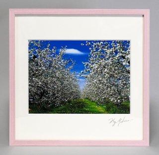 リンゴの花(0867)