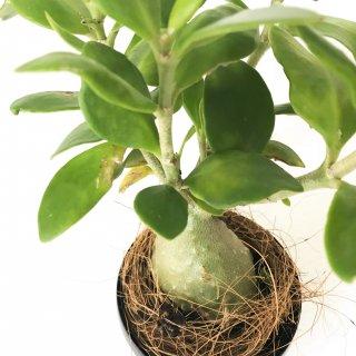 【アリ植物】 ヒドノフィツム パプアナム 蟻の巣玉