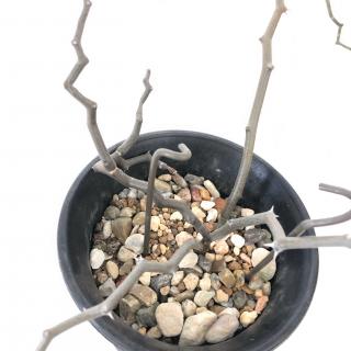 マダガスカリエンシス(ジグザグの木)