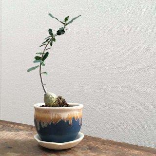 フォッケア エデュリス + 藍色鉢