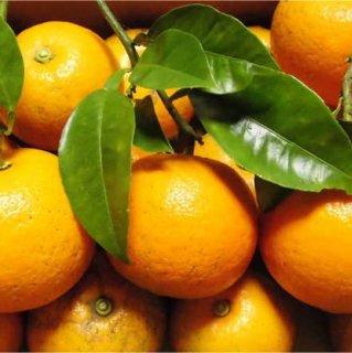 橙(だいだい)5kg(25-35玉)