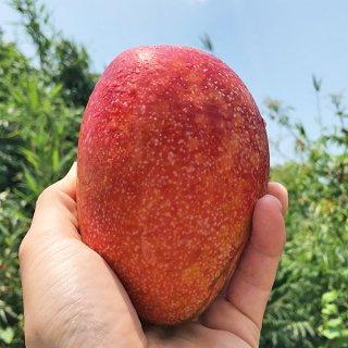 沖縄無農薬マンゴー(アーウィン秀品1kg:2-4個)※チルド冷蔵便・送料込み