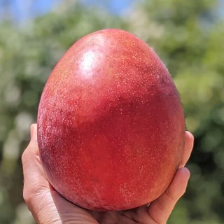 沖縄無農薬マンゴー(レッドキーツ2kg:2-3個)※チルド冷蔵便・送料込み