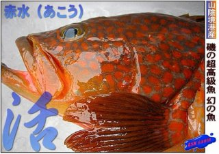 アコウ(赤水)1-2.5kg