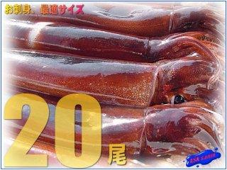 お刺身用「活スルメ4KG」20尾位 -美しい釣り物-