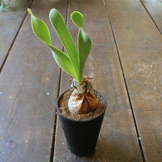 『※希少植物※ キルタンサス オブリクス』