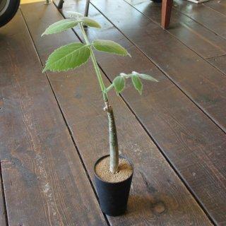 『※希少植物※ キフォステンマ サカラバ』