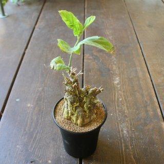 『※希少植物※ ケファロペンタンドラ エキローサ』