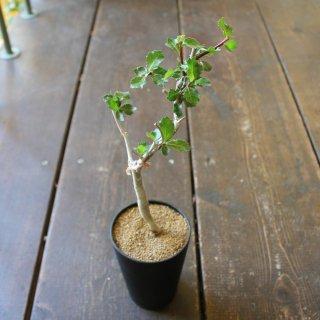 『※希少植物※ コミフォラ ウィティー』