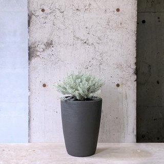 ウエストリンギア 斑入り 黒鉢(庭木)