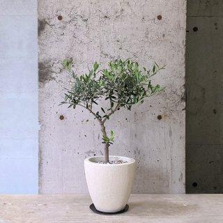 オリーブ ネバディロ・ブランコ� (庭木)