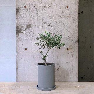 オリーブ � ルッカ(庭木)