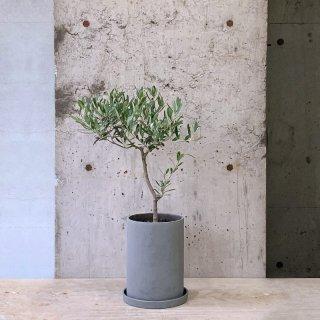 オリーブ � ネバディロ・ブランコ (庭木)