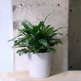 アグラオネマ マリア � urb pot TYPE02-M