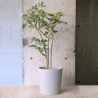 シェフレラ アルボリコラ(白斑)urb pot TYPE02-M