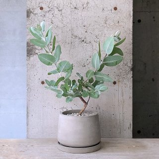 ユーカリ プレウロカルパ テトラゴナ � urbpot (庭木)