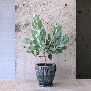 ユーカリ プレウロカルパ テトラゴナ � BL (庭木)