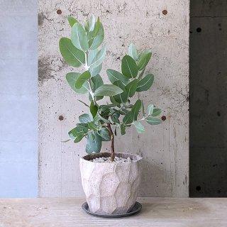 ユーカリ プレウロカルパ テトラゴナ � AN (庭木)
