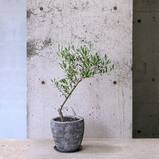 オリーブ ネバディロ・ブランコ(庭木)� GY