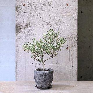 オリーブ ネバディロ・ブランコ(庭木)� ST