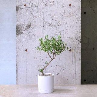 オリーブ ネバディロ・ブランコ(庭木)� WH