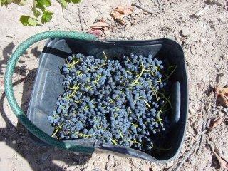 ワインへの思い やっぱり秋の収穫は大きな喜び