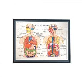 1960年代 解剖学 ヴィンテージ  スクールポスター フランス