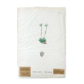 1880年代 アンティーク ボタニカルアート オリジナルカラープリント イギリス (556)