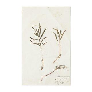 アンティーク  押し花 植物標本 1887年 イギリス