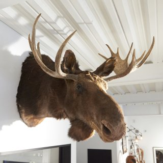 ヘラジカ (ムース) 剥製 ハンティング トロフィー