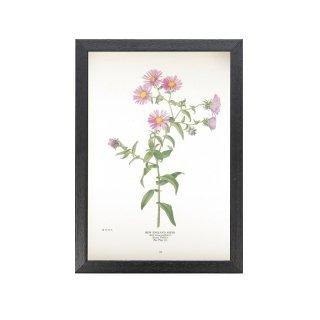1924年代 アメリカ アンティーク ボタニカル アート 植物画 ネバリノギク フレームセット