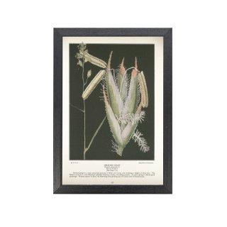 1924年代 アメリカ ヴィンテージ ボタニカル アート 植物画 カモガヤ フレームセット