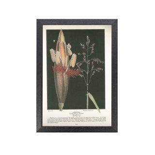 1924年代 アメリカ アンティーク ボタニカル アート 植物画 triodia flava フレームセット