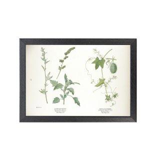 1924年代 アメリカ アンティーク ボタニカル アート 植物画 シロザ Echinocystis lobata フレームセット