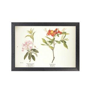 1924年代 アメリカ アンティーク ボタニカル アート 植物画 アメリカシャクナゲ キバナツツジ フレームセット