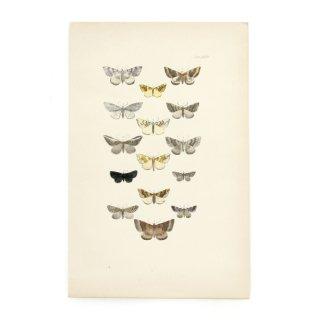 1896年 イギリス アンティーク アート 蝶 バタフライ ハンドカラープリント Plate35